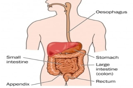 A diagram of the human digestive system