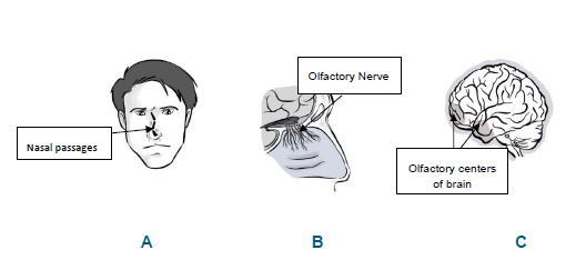 Three diagrams. Diagram A shows the nasal passages leading to the nasal cavity in the nose. Diagram B shows the olfactory nerve, passing from its receptors in the nasal mucosa to the forebrain. Diagram C shows the olfactory centers in the temporal lobe of the brain.