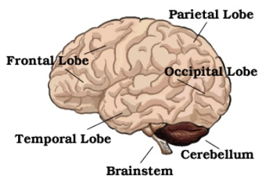 Image of Brain with Lobe Information